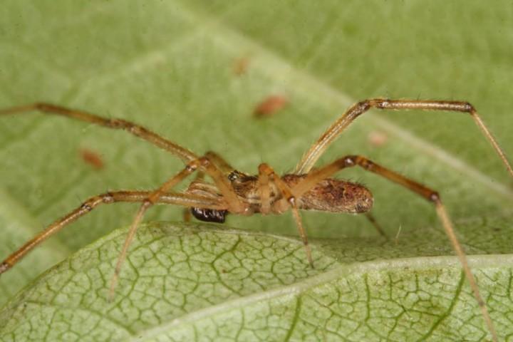 Episinus maculipes male Copyright: Peter Harvey