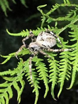 Araneus angulatus 5 Copyright: Mike Hetherington