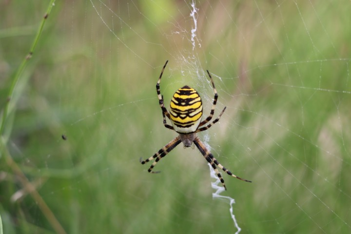 Wasp spider Emsworth Copyright: Caroline Moran