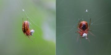 Hypsosinga heri (28-May-2014) Copyright: Allan Neilson