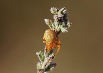 Mystery Heathland Spider Copyright: Paul Davis