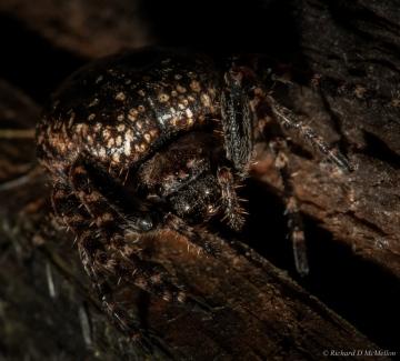 Walnut orb weaver Copyright: Richard McMellon