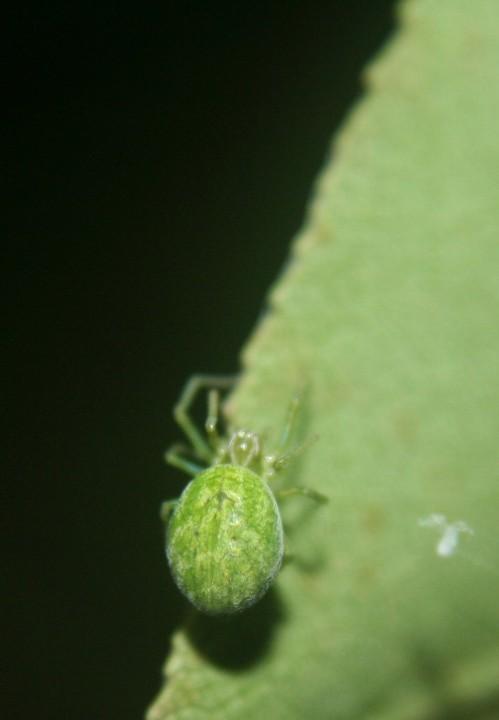 Green spider on pear tree 12.09.18 Copyright: Daniel Blyton
