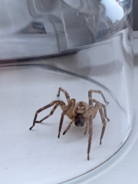 False Wolf Spider found on windowsill - Nov 2020 Copyright: Gareth Welch