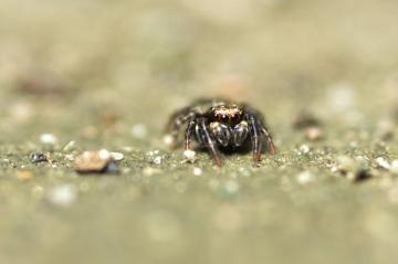 A Pseudeuorphrys front view Copyright: Julian Birkhead