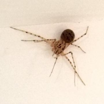 Spitting Spider Copyright: Martin Cooper