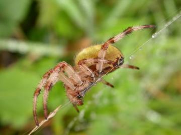 Araneus quadratus lateral view Copyright: Terry Box