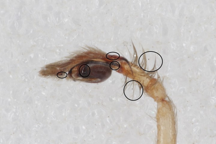 Cheiracanthium sp. 5 Copyright: Tim Hodge