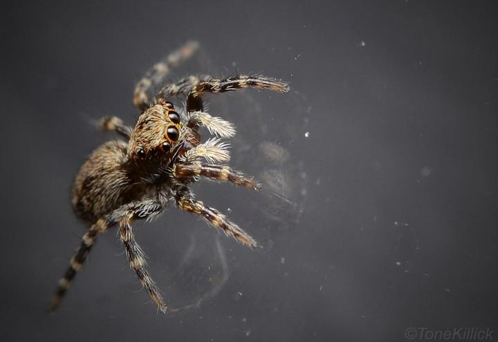 Female P.lanigera 2 Copyright: Tone Killick