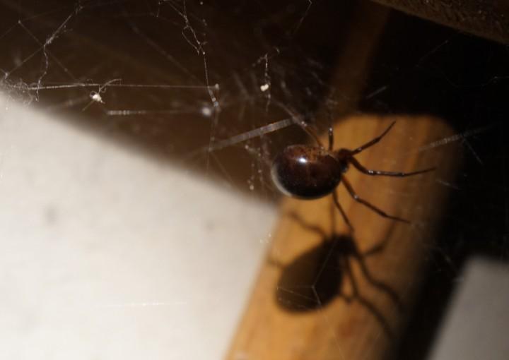 12mm Steatoda bipunctata protecting egg nest Copyright: Paul Humphrey