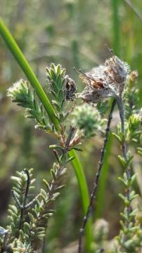 Uloborus walckenaerius on cross-leaved heath Copyright: V Gilson