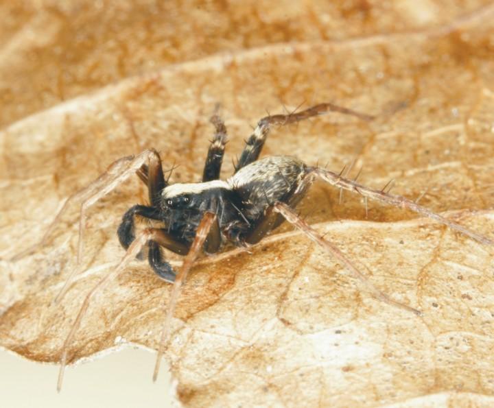Pardosa saltans male Copyright: Peter Harvey