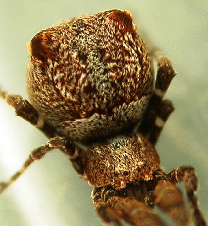 Uloborus plumipes 2 Copyright: Nik Nimbus