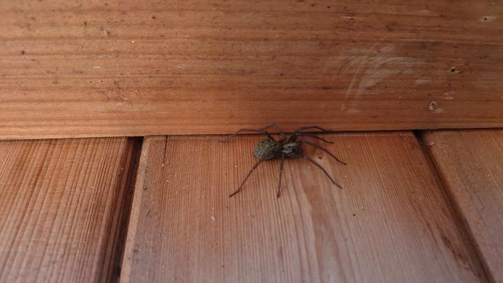 Unknown large spider Copyright: Richard Tanner