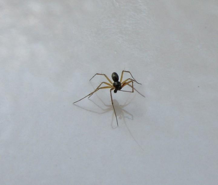 Lepthyphantes mengei(m) in bathroom cleaning a leg Copyright: Howard Williams