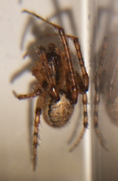 Z. x-notata found in home 31 Jul 17 Copyright: Phil Burchell