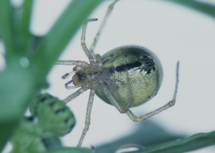 Enoplognatha latimana female Copyright: Peter Harvey