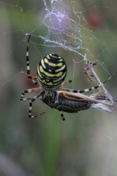 With Bog Bush-cricket a favourite prey on humid heath Copyright: Ian Cross