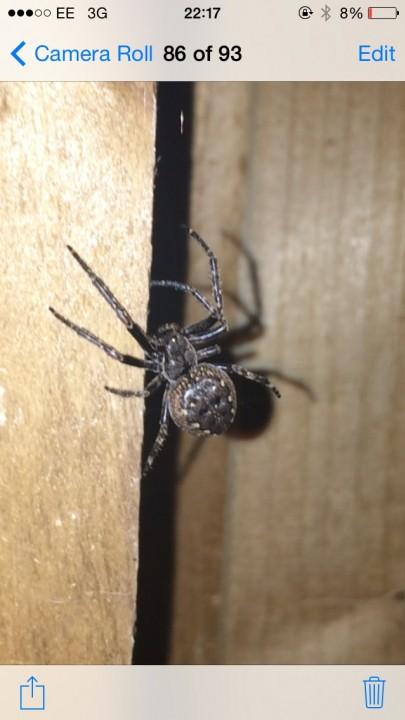 NOT False widow Buntingford Nuctenea umbratica Copyright: Ashley Stoker