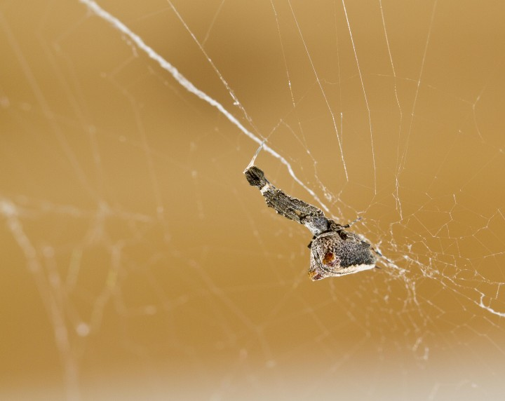 Uloborus plumipes female in web Copyright: Evan Jones