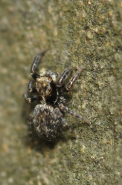 A Pseudeuorphrys Copyright: Julian Birkhead