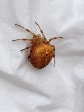 Garden Spider STock Copyright: Patsy Wysling