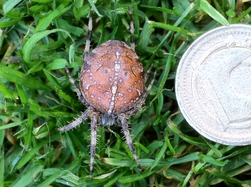 Araneus diadematus. Pregnant female Copyright: Chris Bowes