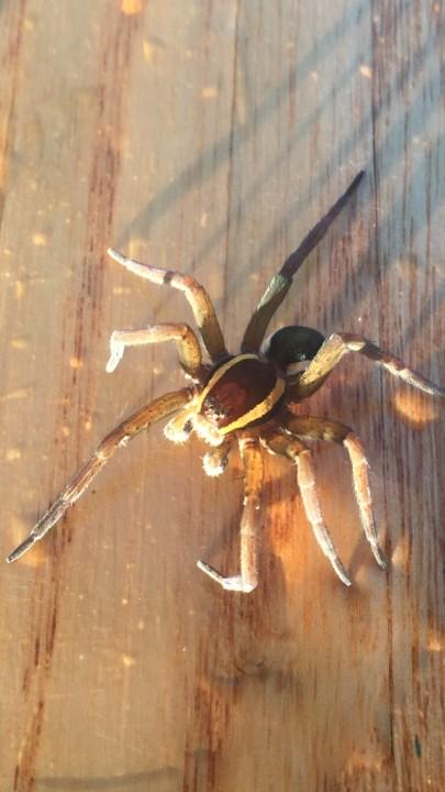 Spider on paddle 24th December 2018 Copyright: Edwin Hayton