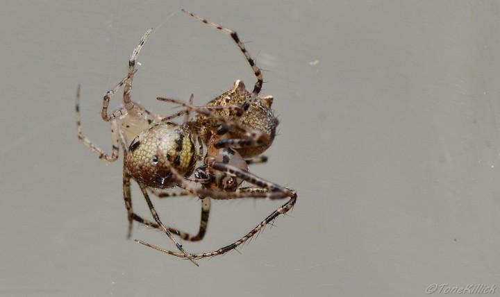 E.aphana with P.tincta prey 3 Copyright: Tone Killick