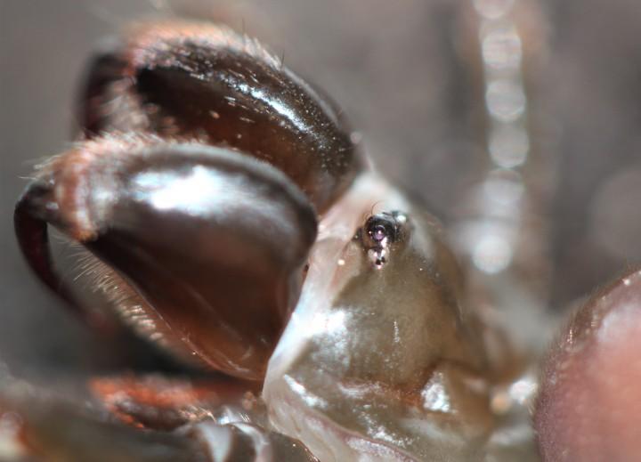 Atypus affinis (Eyes close-up) Copyright: MG