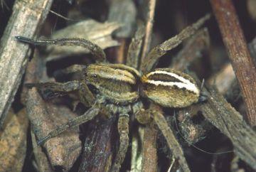 Alopecosa cuneata female Copyright: Peter Harvey