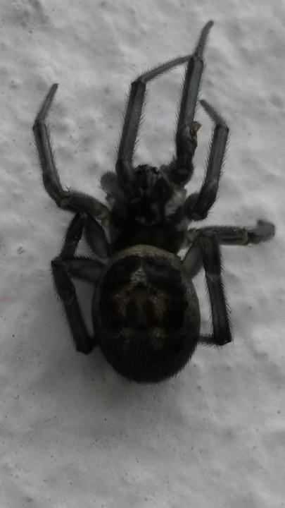 NOT Black lace weaver spider (Amaurobius ferox) Somerset Copyright: Samantha Thurston
