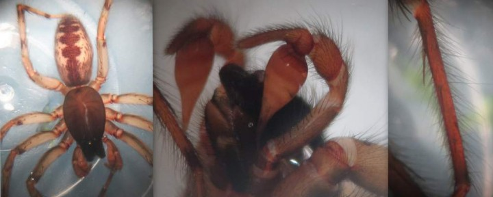 Segestria senoculata Copyright: Alistair Shuttleworth