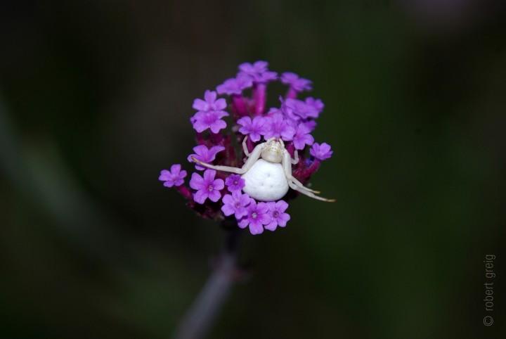 Misumena vatia white form female 17th August 2015 Copyright: Robert Greig