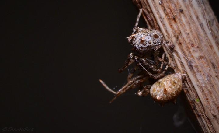 Female E.aphana eating a male E.aphana 2 Copyright: Tone Killick