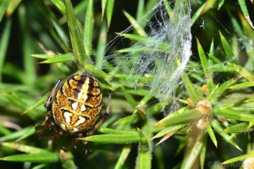 Neoscona adianta found on Lundy Island Copyright: Tone Killick