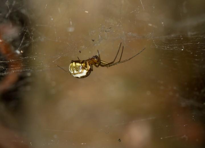 Neriene peltata female in shady woodland Copyright: Evan Jones
