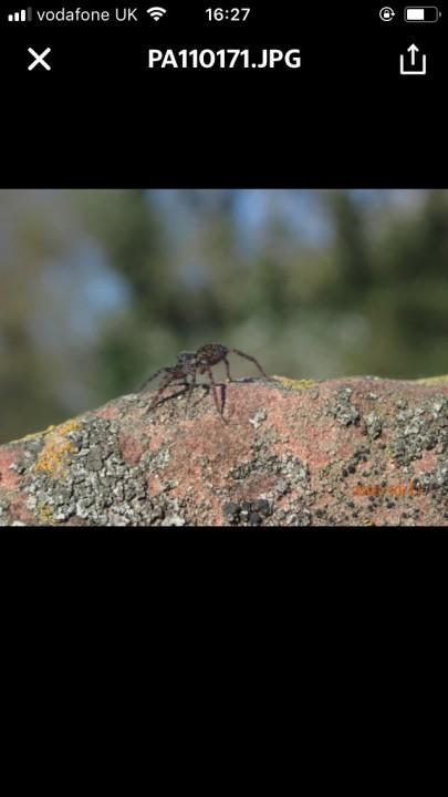 pardosa spider 2 Copyright: David Callender