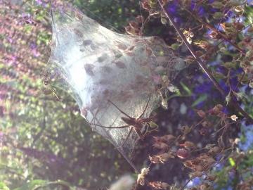 Pisaura mirabilis with web and egg sac Copyright: Alison Gurr