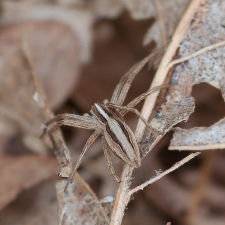 Pisaura mirabilis NOT Pardosa bifasciata Copyright: Colin Knight