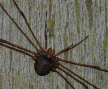 possible Dicranopalpus sp. detail Copyright: Don Matthews