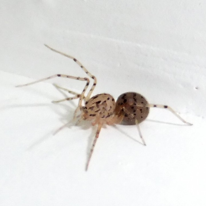 Spitting Spider 3 Copyright: Martin Cooper
