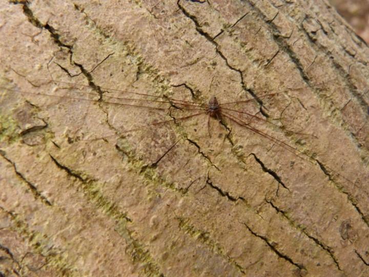 Dicranopalpus ramosus male 061215 Copyright: John Davison