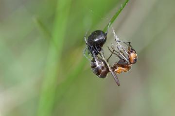 Female eating an ant Copyright: Lars Bruun