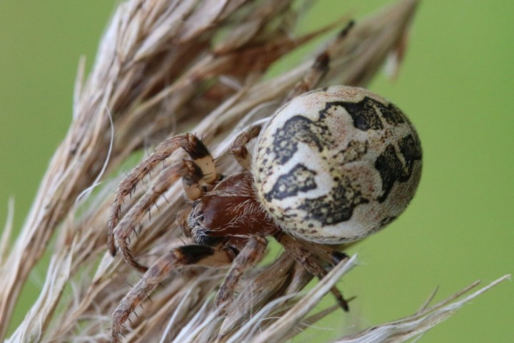 Larinioides cornutus TG4523 Copyright: Tim Hodge