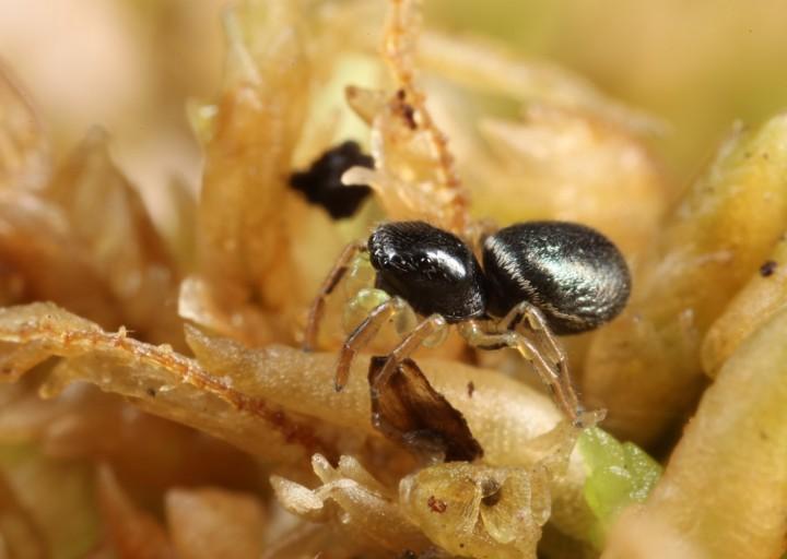 Heliophanus dampfi immature male 2 Copyright: Richard Gallon
