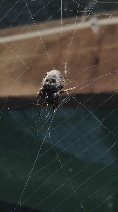 Greenhouse Spider GU28 9JU Copyright: Thomas Birkett