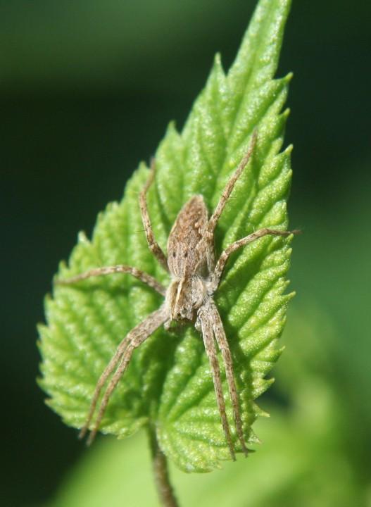 Nursery web spider basking on hop 02.09.18 Copyright: Daniel Blyton