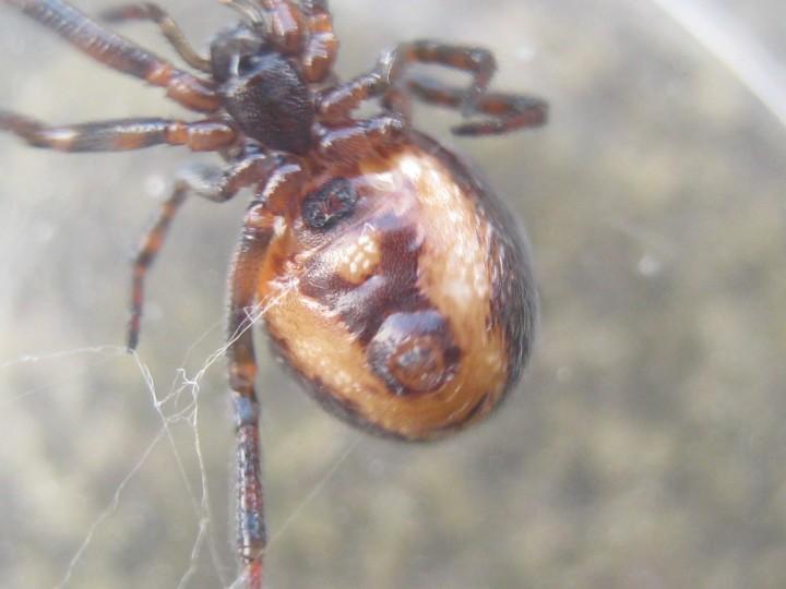 Steatoda bipunctata (underside - female) Copyright: Steve Priestley