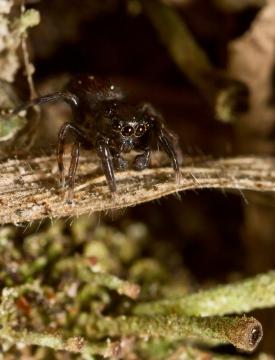 Neon reticulatus male. In old thatch on barn roof Copyright: Evan Jones